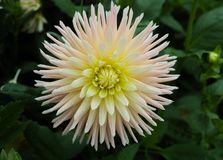 White dahlia flower, beautiful bouquet or decoration from the ga Stock Images