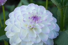 White dahlia flower, beautiful bouquet or decoration from the ga Royalty Free Stock Photo