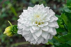 White Dahlia flower with bud, pattern petals, close up.  Royalty Free Stock Photo