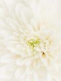 White dahlia flower center Stock Image