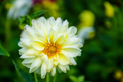 White Dahlia flower with dew drops Stock Photo