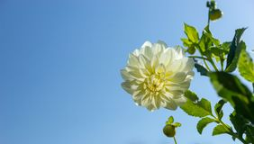 White dahlia flower with green leaves against a blue sky Royalty Free Stock Image