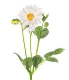White dahlia flower, isolated on white background Stock Images