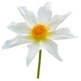 White dahlia flower Stock Image