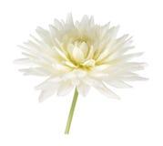 White dahlia flower Stock Photos