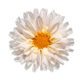 White Dahlia Flower with Yellow Center Isolated Royalty Free Stock Image