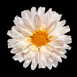 White Dahlia Flower with Yellow Center Isolated. Beautiful White Dahlia Flower with Yellow Center Isolated on Black Background Royalty Free Stock Photo