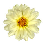 White Dahlia Flower Yellow Center Isolated Stock Images