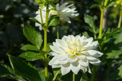White dahlia flowers with green leaves Royalty Free Stock Image