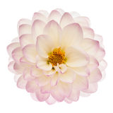 White dahlia isolated Stock Image