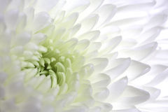 White dahlia macro Stock Photography