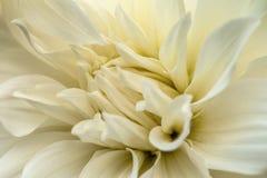 White dahlia macro Royalty Free Stock Image