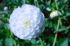 White Dahlia in Summer. A perfect white dahlia flower in summer Royalty Free Stock Image