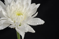 A white Dahlia and water drop. A closeup photo of white Dahlia and water drop on black background Stock Photography