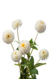 White dahlias Royalty Free Stock Images