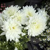 White dahlias in glass jar against neutral background selective focus royalty free stock photo