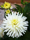 White dahlias grow Royalty Free Stock Image