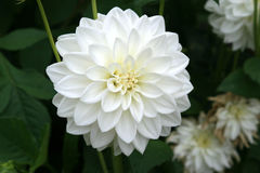 White dahlias are growing in the gardens of a castle near Tours (France)