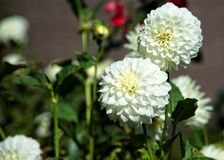 White dahlias in spring Royalty Free Stock Image