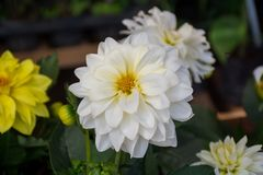 White Dahlias at Thailand stock image