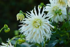 White Dahlias Stock Image