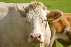 White dairy cows Stock Photography