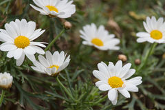 The white daises Royalty Free Stock Images