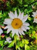 Bright Shasta Daisy stock photos