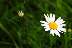 White daisie. S against the background green grass Royalty Free Stock Photography