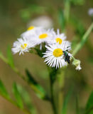 White daisie with an insect. Spring grass field with many white daisies Royalty Free Stock Photography
