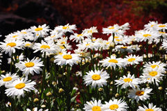 White daisies. Cluster of white daisies in garden Stock Images