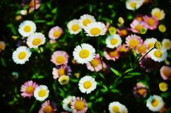 White Daisies Royalty Free Stock Image