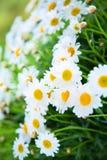 White daisies Stock Photos