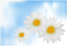 White daisies. Stock Photos