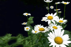 White Daisies. On black background with green leaves stock images