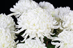 White daisies. The white daisies in black background Royalty Free Stock Photo
