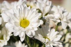 White Daisies Royalty Free Stock Photo