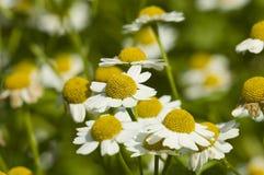 White daisies. A field of white daisies Royalty Free Stock Photos