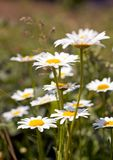 White daisies Stock Images