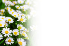 White daisies against a white background Royalty Free Stock Photos