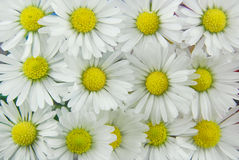 White daisies background stock images