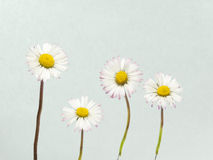 White daisies on a background Stock Photos