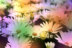 White daisies background Stock Photos