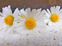 White daisies Stock Image