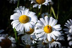 White Daisies and The Bee royalty free stock images