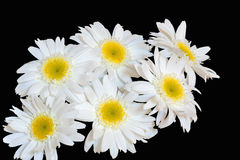 White daisies on black. Bouquet of white daisies on black background stock image