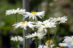 White Daisies in Bloom. White Daisies pictured, blooming in the summer Royalty Free Stock Image