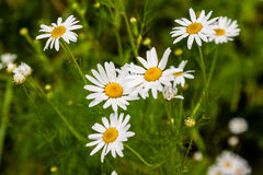White daisies bloom against the background of green grass Stock Photo