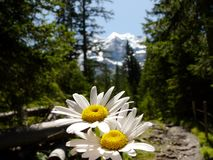 Daisies in bloom with mountains background stock images