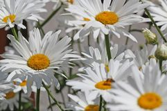 White daisies bloomed beautifully in the middle of the lawn Stock Image